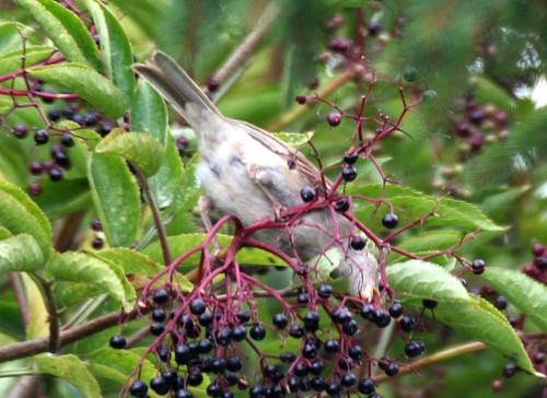Sparrow eating Elder Berries