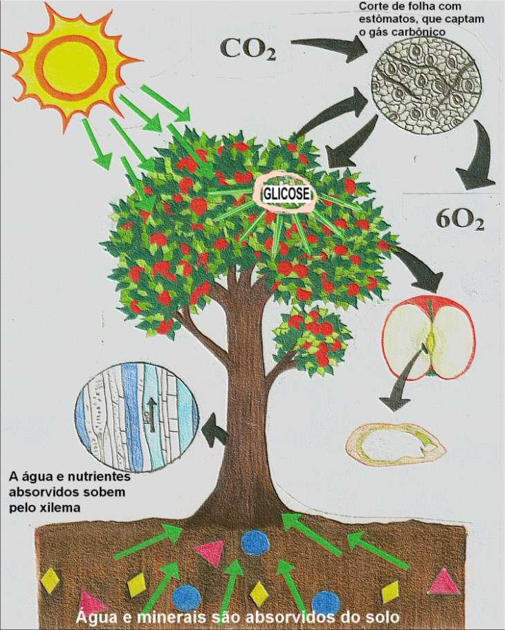 Árvore e fotossíntese