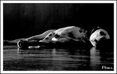 danko (biel.b.c.) Tags: dog animal sony perro dalmata danko dsch2
