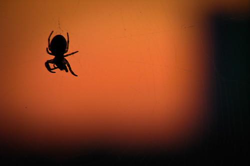 seneca spider