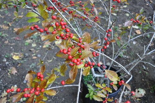 Red Sprite Winterberry Shrub