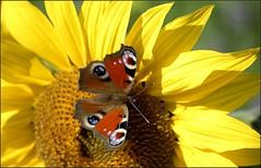 Papillon Paon du jour sur fleur de tournesol (jd.echenard) Tags: animal lepidoptera papillon arthropoda tournesol dagpauwoog schmetterlinge faune inachis sonnenblumen nymphalidae tagpfauenauge endopterygota nymphalinae nikond200 ocelle paondujour vanessaio pfgelga peacockbutterly mariposapavoreal nappalipvaszem farfallapavone