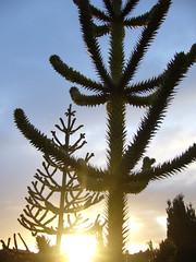 araucaria 2 (andib1969) Tags: chile winter cloud naturaleza sun color colour tree sol southamerica nature silhouette contraluz dawn twilight chili natur himmel wolke wolken rbol invierno dmmerung silueta araucaria sonne farbe baum nube gegenlicht gloaming lagollanquihue surdechile sudamrica schattenriss amricadelsur sdamerika puertooctay
