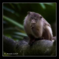 Primate (JKmedia) Tags: tree green dark zoo monkey eyes furry cornwall eating small fluffy ears trunk clasp hold orton newquayzoo animalkingdomelite canoneos40d 15challengeswinner prmate thechallengegame challengegamewinner jkmedia vosplusbellesphotos thepinnaclehof tphofweek16 n15c pregamesweepwinner pregameduelwinner