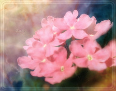 Soft touch of pink (in eva vae) Tags: pink flower macro art nature fun eva soft framed experiment rosa level gradient fiore textured flowersarebeautiful goldstaraward rubyphotographer sailsevenseas inevavae