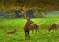 Red Stag (dillspics) Tags: autumn stag deer antlers soe reddeer rutting studley naturesfinest coth supershot natureselegantshots vosplusbellesphotos