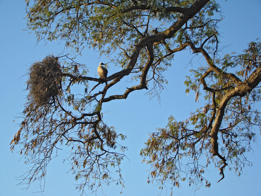 DSC08424 Vulture and nest