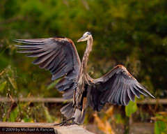 Wako Landing (Michael Pancier Photography) Tags: usa nature birds florida wildlife fl wako delraybeach seor wakodahatcheewetlands naturephotographer floridaphotographer michaelpancier michaelpancierphotography avianphotography landscapephotographer floridaavianphotography wwwmichaelpancierphotographycom seorcohiba floridabirdsbirdsofflorida