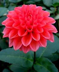 """A Thing Divine; For Nothing Natural I Ever Saw So Noble.""  Shakespeare's ""The Tempest,"" Act I (Puzzler4879) Tags: dahlia flowers longisland tempest dahlias pinkflowers bayardcuttingarboretum floralfantasy newyorkstateparks perfectpetals a580 dahliagardens beterthangood canona580 canonpowershota580 powershota580 theperfectpinkdiamond unforgettableflowers floralfantasia mamasbloomers naturescarousel longislanddahliasociety dahliatempest"