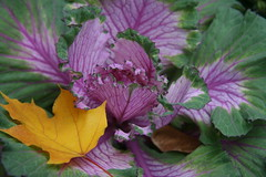 yellow leaf on cabbage