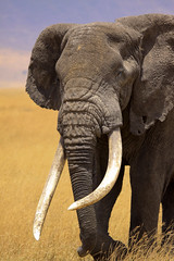 Largest Member of the Big Five (mikel.hendriks) Tags: africa game animals geotagged tanzania photo hunting lion safari ngorongoro leopard capebuffalo africanelephant whiterhinoceros blackrhinoceros pantheraleo safaris synceruscaffer loxodontaafricana pantherapardus africanwildlife ceratotheriumsimum thebigfive dicerosbicornis canoneos50d sigma120400mmf4556apodgoshsm