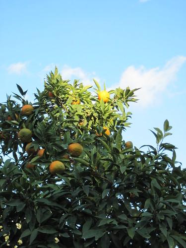 Orange Trees at the Forum