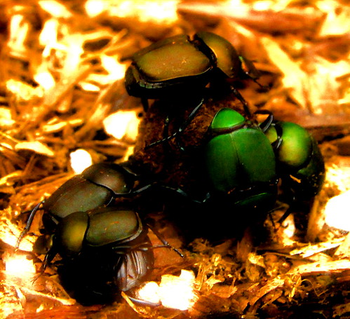 6 dung beetles