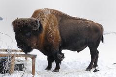 Woolly Bully (jc-pics) Tags: buffalo nikon sigma os d200 hsm nikonsigma 18250mm