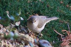 Pouillot vloce (Phylloscopus collybita) (Le No) Tags: bird 31 oiseau commonchiffchaff phylloscopuscollybita hautegaronne midipyrnes stlon lauragais pouillotvloce passriformes collectionnerlevivantautrement dcembre2009 phylloscopids