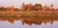 Warm Light On The Nile (CJay Bee) Tags: pink sunset reflection water birds river palms reflecting mirror warm gulls egypt nile palmtrees warmlight rivernile