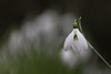 052/365 (neals pics) Tags: flower flora fleur snowdrop white spring green nature natural naturallight naturalworld naturephotography season seasonal colour color nowtonpark 365the2017edition 3652017 day52365 21feb17