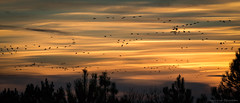 Migration (Jean-Luc Peluchon) Tags: fz1000 lumix sunset bird sky color tree cloud wild nature panoramic landscape