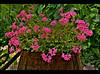 Fiori - HDR Version (Antudo) Tags: flower fiori phoddastica mamedeanaharfouche