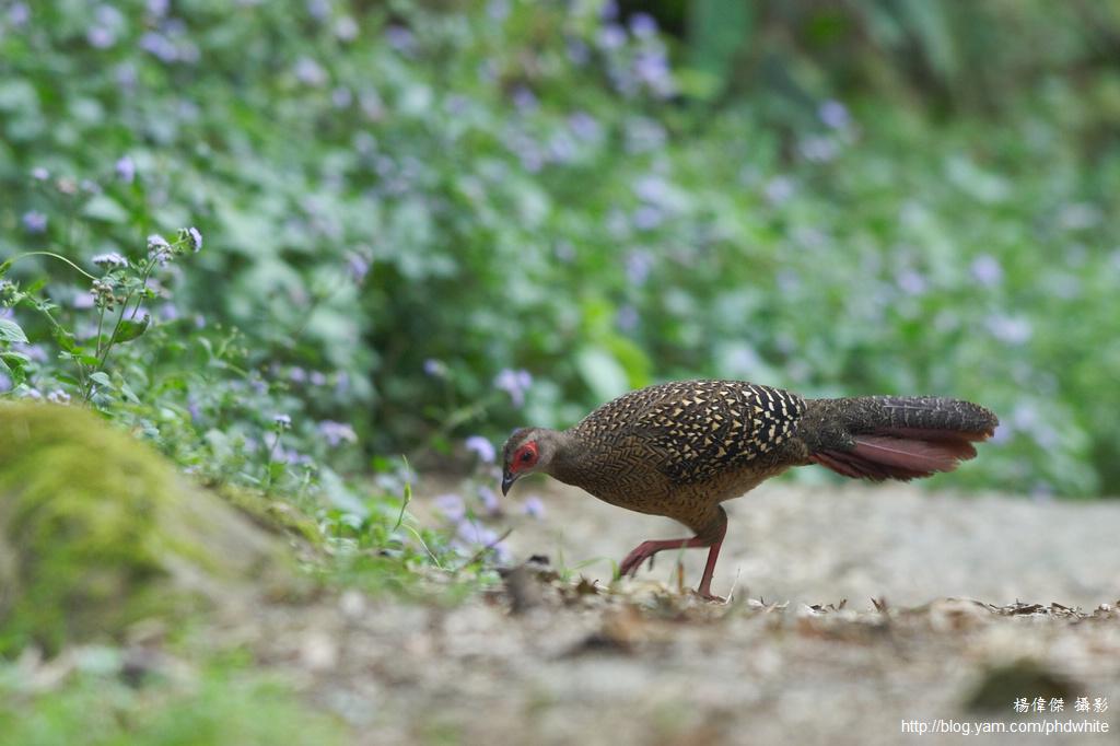 藍腹鷳 Swinhoe's Pheasant