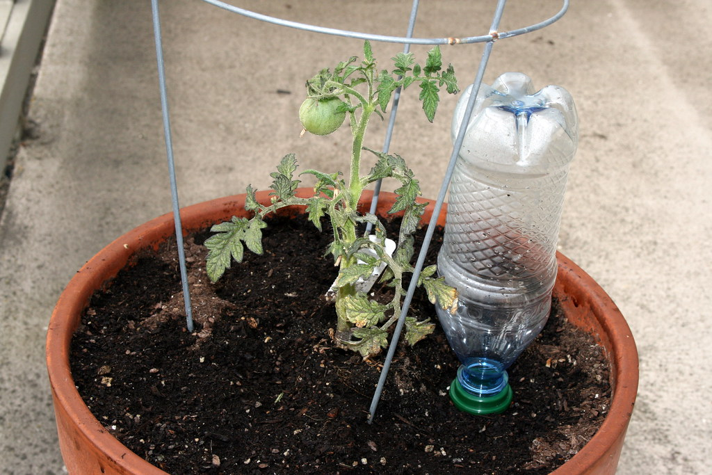 Tomato plant with Plant Nanny