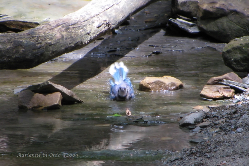bathing blue jay