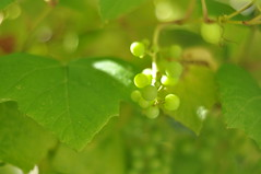 Sunripening grapes