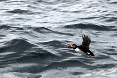 For my friend Bill....Here's a Puffin!