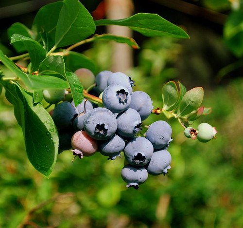 Macombers Blueberry Stand berry bunch