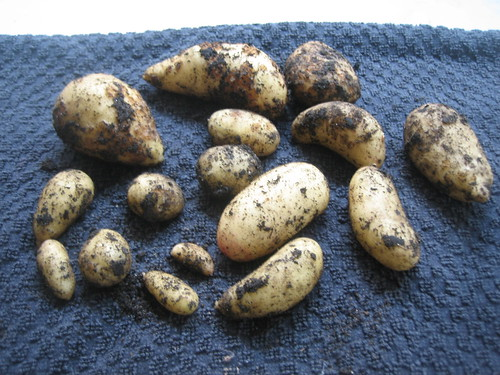 Second potato crop