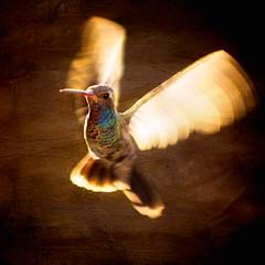 "Humminigbird  ""Light"" (Alfredo11) Tags: texture textura mexico fly wings explore alas alfredo frontpage beijaflor vuelo colibri tratamiento humingbird picaflor nikoncreativelightingsystem specanimal nikond3 nikon70200mm28 trreatment"