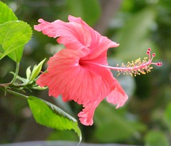 Happy Independence Day !!!! (Kamala L) Tags: red india green beautiful leaves daylight hibiscus madurai tender