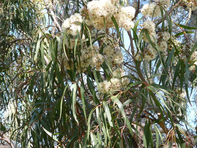 Corymbia citrodora
