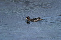 Arge090106 (wildimages.tv) Tags: patagonia bird latinamerica southamerica argentina swimming duck outdoor waterbird latino waterfowl pintail yellowbilled anasgeorgica