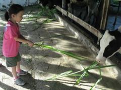 20090722-zozo餵牛