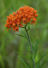 Butterfly Weed (Bernie Kasper) Tags: travel flowers summer orange flower macro art nature floral nikon wildflower butterflyweed madisonindiana berniekasper