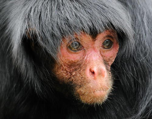 Red-faced spider monkey