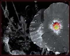 Picasa poppy (W J (Bill) Harrison) Tags: red bw flower nature garden sony picasa poppy picnik papaver dabblesandart
