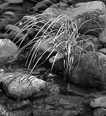 Creek Grass in Black and White (dancing goose) Tags: blueridgeparkway latesummer ottercreek