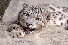 Living in such a hot country isn't something nice for snow leopards! (Tambako the Jaguar) Tags: wild cute cat zoo switzerland big nikon feline zurich kitty fluffy zrich felid d300 schneeleopard snowkitty uncia loparddesneiges panthredesneiges solidaritywithcancersolidaridadconelcncer