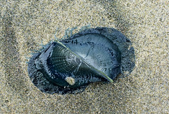 By-the-wind Sailor - Velella velella (Robyn Waayers) Tags: sailors robyn vellela bythewind waayers