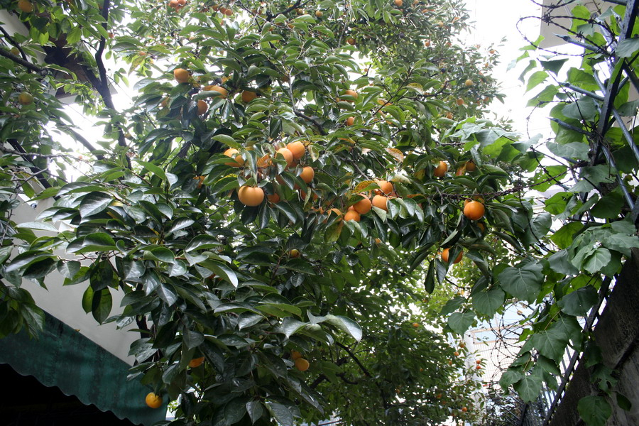 Persimmon tree(3)