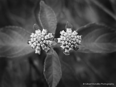Life in Mono (Gilbert Rondilla) Tags: camera flowers bw plants white plant black flower macro church nature monochrome up horizontal closeup garden point photography photo nikon shoot close bokeh philippines chapel monotone retreat gilbert filipino duotone batangas lantana digicam tagaytay notmycamera own pinoy s10 caleruega borrowedcamera imago nasugbu pns lantanacamara tagaytaycity fineartphotos rondilla transfigurationchapel notmyowncamera imagoismthursday gilbertrondilla gilbertrondillaphotography luisianian pkebphotowalk