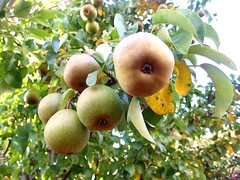 I think these are Pears? (JemmaJusticePhotography.) Tags: camera tree green slr art nature forest photography justice leaf focus fuji natural finepix pear jemma sooc jemmysaur jemmaammej