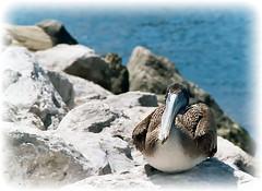 Pelican (J M Ross) Tags: photoshop postprocessing davecross photoshopfixes davecrossphotochallege davecrosschallenge