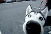 sonic-11 (Petey Photo) Tags: dog honda pennsylvania sonic civic integra meet sonicmeet peteyphotography peterplace wwwpeteyphotographycom patunedcom