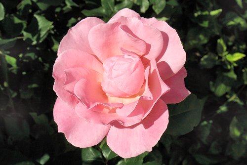 Rosa 'Royal Highness' (rq) - 02