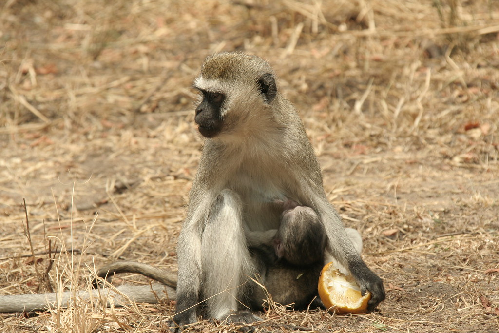 Cheeky Vervet Monkey with young and stolen orange - Serengeti National Park, Tanzania