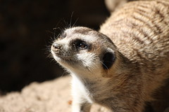 Won't you play with me? (San Diego Shooter) Tags: meerkat sandiego sandiegozoo meerkats