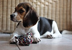 My second favourite toy (the first is the flip-flop) (Zia Lety) Tags: dog baby beagle cane canon puppy toy ears nike gioco letsplay orecchie cucciola bracchetto